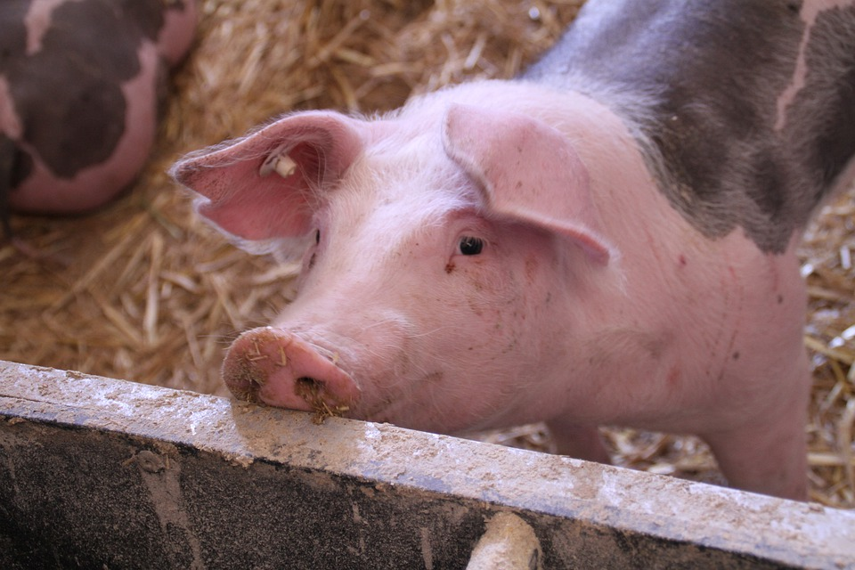 Commission approves €500,000 Cypriot scheme to support pig sector